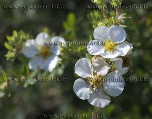 POTENTILLE-a-floraison-BLANCHE-abbotswood