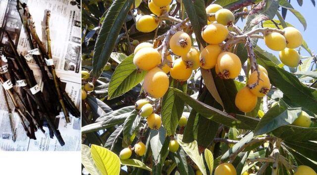 Chinese Plum 10PCS Loquat Tree Flowers Bonsai Potted Plant Decor Home Garden