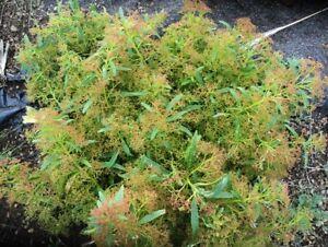 500 graines de MELISSE CITRONNELLE H490 LEMON BALM SEEDS Melissa officinalis