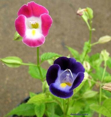 50 FRESH WISHBONE FLOWER TORENIA FOURNIERI PINK SEEDS