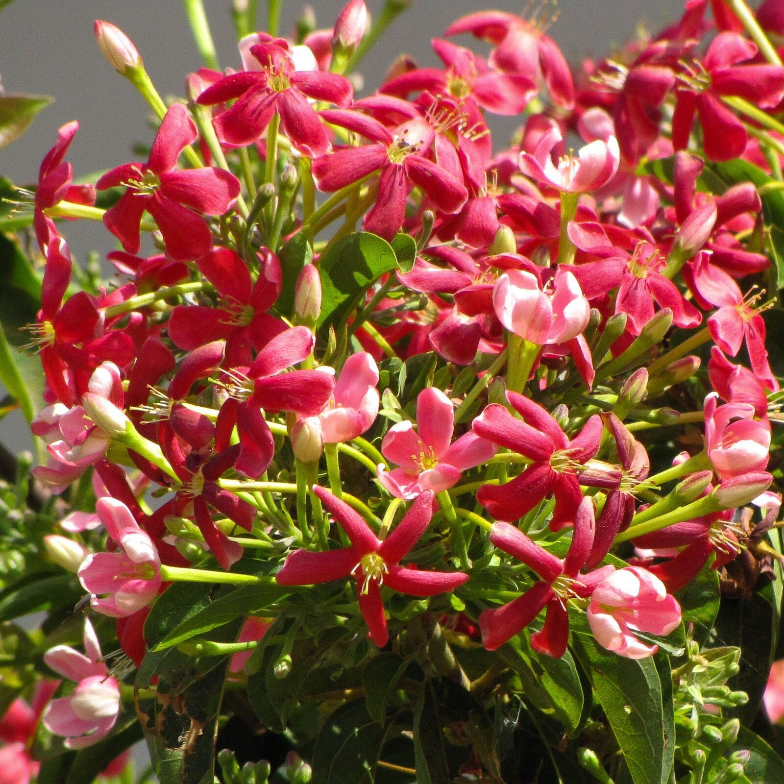 Wundervolle Kletterpflanze•Rangunschlinger•5 Samen//seeds•Quisqualis indica•Duft