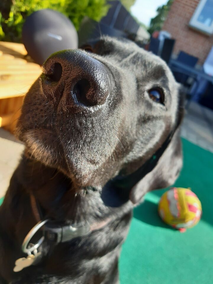 Labrador F1 han, hund, 8 år