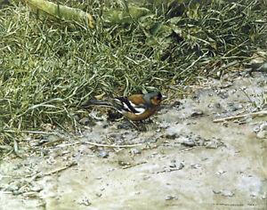Chaffinch-POSTCARD-Bird-Art-Card-Steve-Greaves-Painting-Print-Garden-Woodland