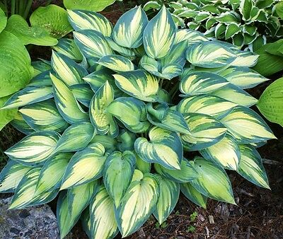 HOSTA JUNE PLANT \BUY ANY 5 HOSTAS AND GET 1 FREE MY CHOICE  SHIPPING SPRING 16
