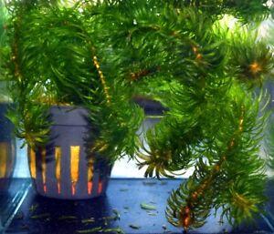 10 (dix) Bottes De Egeria Najas-populaire Plante Aquatique