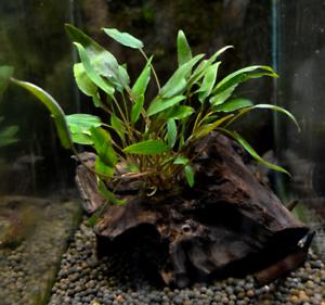 Cryptocoryne-on-Driftwood-Wendtii-Freshwater-Live-Aquarium-Plant-Decorations