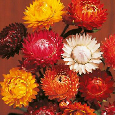 Tall Double Mixed Colors 75 Strawflower Seeds Attract Butterflies Hummingbirds!