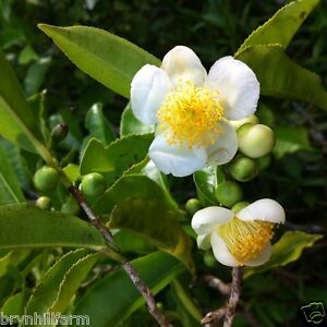 grow your own tea 6 small tea plants from qld tea plantation camellia sinensis ebay. Black Bedroom Furniture Sets. Home Design Ideas