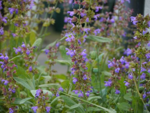 Herbal Medical Garden 20 seeds-bee friendly Common Sage Salvia Herb Seeds