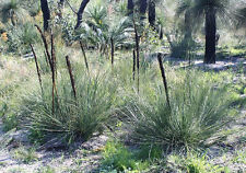 Slender Grass Tree or Grass Boy Seeds ( X. gracilis) Evergreen Drought Tolerant