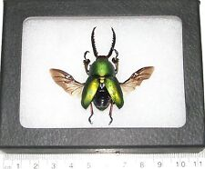 REAL FRAMED GREEN LAMPRIMA ADOLPHINAE STAG BEETLE WINGS SPREAD MOUNTED