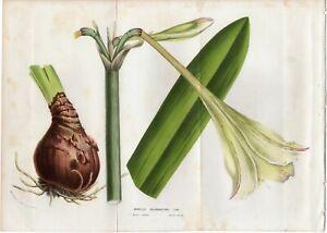 Van-Houtte-1856-Antique-Large-Print-AMARYLLIS-Flower-Garden-Botanical-Decor