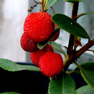 """Arbre-fraise, Erdbeerbaum Fruits Très Mignon Aromatiques """"arbutus Unedo""""-afficher Le Titre D'origine Vente En Ligne Du Dernier ModèLe En 2019 50%"""