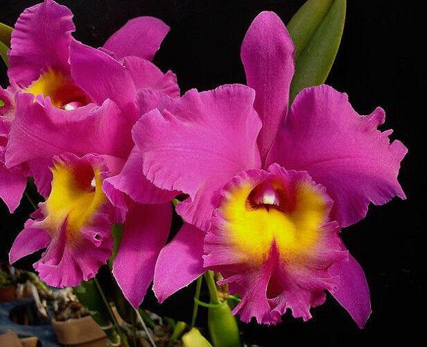 144-Blc. Bryce Canyon 'Splendiferous' AM/AOS Collector's item! Fragrant Orchid!