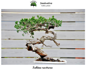 40 Seeds Tam Juniper Juniperus sabina