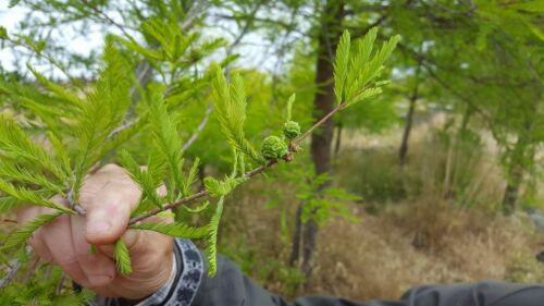 Bald Cypress Taxodium 30 Seeds Suitable Bonsai Seeds
