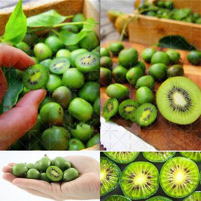 Las semillas org/ánicas * 20 Hardy fruto comestible Kiwi Vine Escalada