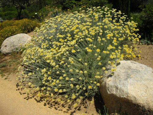 Helichrysum orientale pot 1 litre Immortel