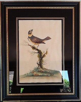 Collared Finch Early Georgian Hand Colored Engraving Print 18th Century