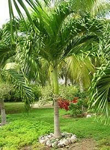 Christmas Palm Tree Seeds.Details About 5 Garden Fresh Thai Manila Kerpis Christmas Palm Seeds