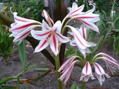 Crinum Lily NEW small-size bulb Scabrum /'Red Rocket/'