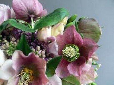 15+ ROSE HELLEBORUS CHRISTMAS ROSE FLOWER SEEDS / WINTER BLOOMING PERENNIAL