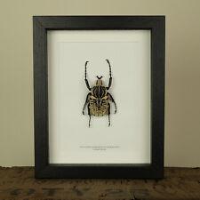 Goliath Beetle in Box Frame (Goliathus Albosignatus Kirkianus)