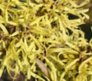 American witch hazel tree large flowering shrub yellow flowers live image is loading american witch hazel tree large flowering shrub yellow mightylinksfo