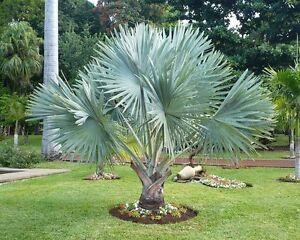 "5 semi di Bismarckia nobilis /""Silver Palm/"""