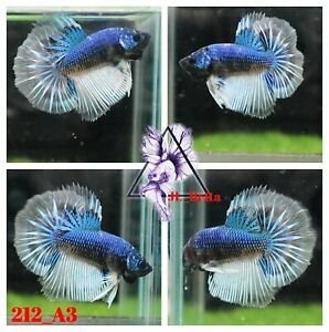 [212_A3]Live Betta Fish High Quality Male Fancy Over Halfmoon 📸Video Included📸