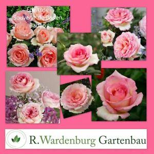 Edelrose Souvenire de Baden Baden® creme-rosa - 5L Topf