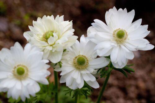 ANEMONE ST BRIGID MOUNT EVEREST 15 BULBS SPRING /& SUMMER FLOWERS READY TO SHIP