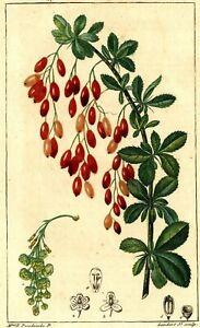 Decoration-Botanique-Berberis-Jean-Francois-Turpin-Gravure-originale-XIXe