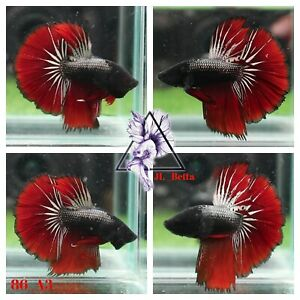 [86_A3]Live Betta Fish High Quality Male Fancy Over Halfmoon 📸Video Included📸