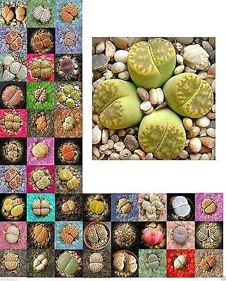 Living Stone Seeds(Lithops species Mix ) Many Varietie, Succulent plants Seed !