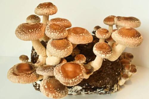 Pilze züchten Pilzmyzel 1 Liter Körnerbrut Shiitake Pilzbrut