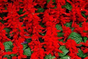 35-Semillas-de-Salvia-Enana-Roja
