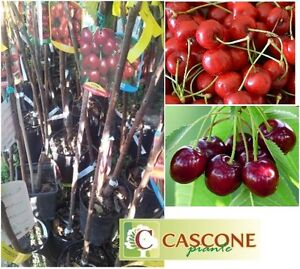 Pianta-albero-ciliegio-di-delle-ciliegie-lapinis-durone-innestato-prunus-avium