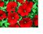 28 x TRAILING PETUNIAS  MIXED PLUG PLANTS FREE POSTAGE READY MID FEB