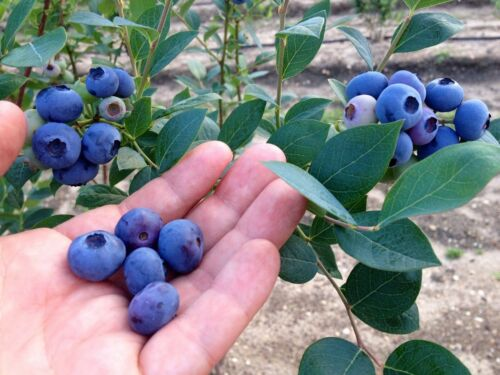 Blueberry Live Organic Plant Fruit Bush 2 Years Old Shipped Bare Root