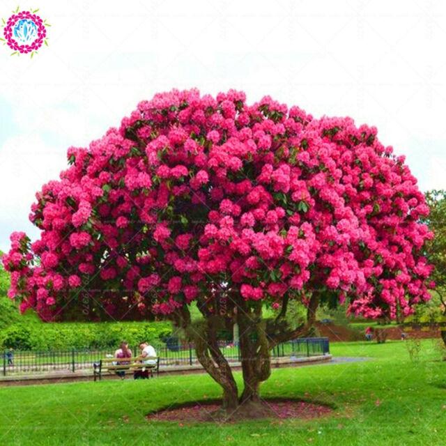 10pcs Rare Sakura Seeds Bonsai Flower Cherry Blossoms Tree For