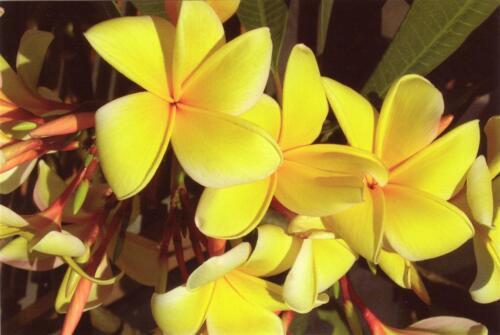 Plumeria Rubra Aztec Gold G939 Seeds Semillas Semi 3 Samen Frangipani Gelb