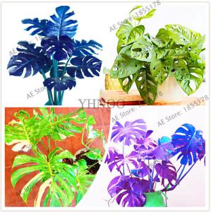 Palm-Turtle-Plants-Tree-Monstera-Ceriman-Bonsai-Home-Courtyard-100-PCS-Seeds-NEW