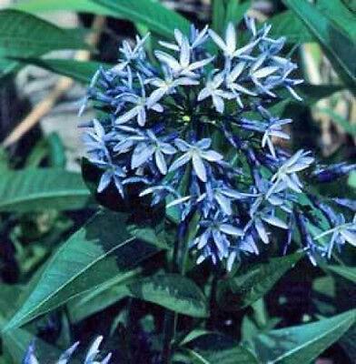 AMSONIA ILLUSTRUS shining blue star perennial BLUE flower 10 seeds GroCo USA