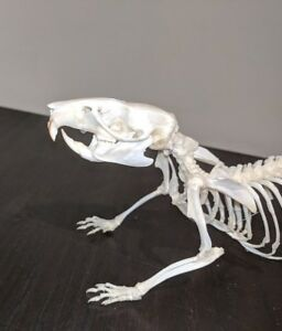 Taxidermy rat skeleton, walking pose(large)