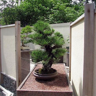 Pinus Thunbergii Japanese Black Pine Black Pine Bonsai 50 Fresh Seeds Ebay