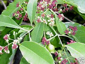 East-Indian-or-White-Sandalwood-Seed-Small-Tree-Drought-Tolerant-Medicinal-Plant