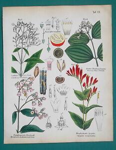MEDICINAL-PLANTS-Indian-Hemp-amp-Pink-Dogbane-Strychnine-1845-H-C-COLOR-Print