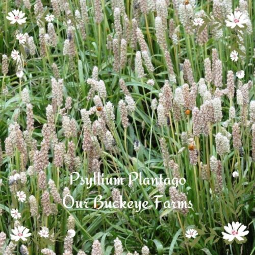 Seeds Plantain Psyllium ~Plantago psyllium ~ Organic ~ 100