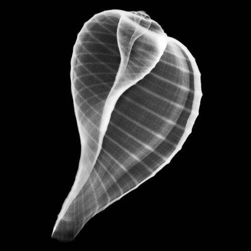 Xray Print of Fig Shell Ficus ficus